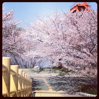 Sakura0